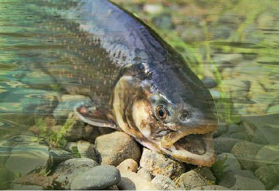 Лосось какая это рыба