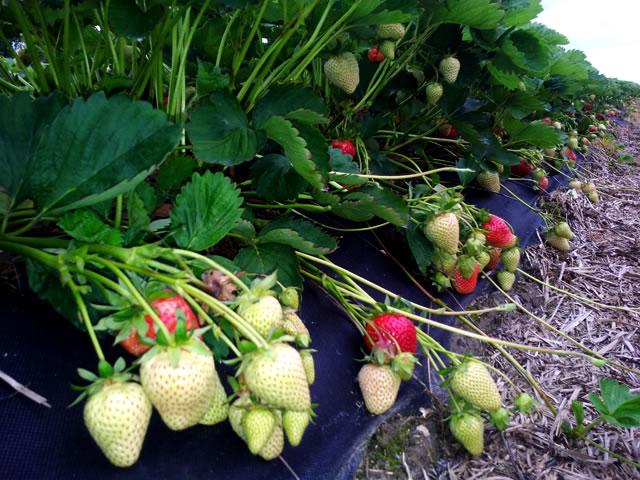 Плодоносящие кусты клубники сорт Прими