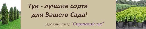 Купить саженцы туи в Москве