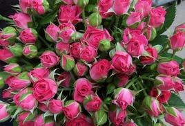 Роза-спрей Лидия