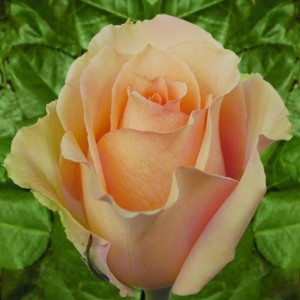 Роза Версилия (Versillia)