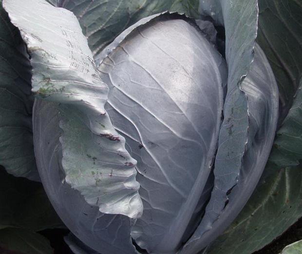 Сорт капусты белокочанной: Коля   f1