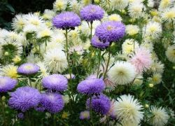 выращивание цветов астры