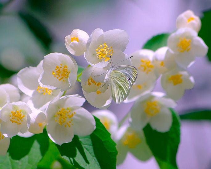 Цветы чубушника