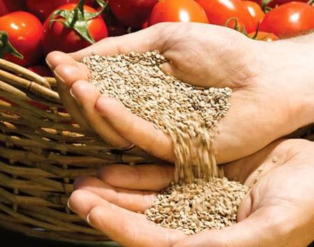 томаты семенами в грунт