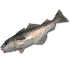 Пикша — рыба семейства тресковых