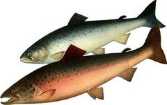 Семга — рыба семейства лососевых