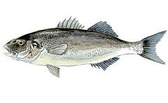 Сибас - рыба семейства морских окуней