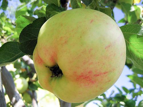 саженец яблони Юбиляр